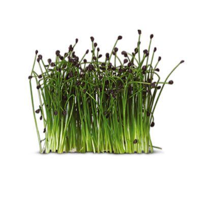 Rock Chives